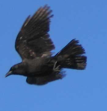 crow jumping into flight