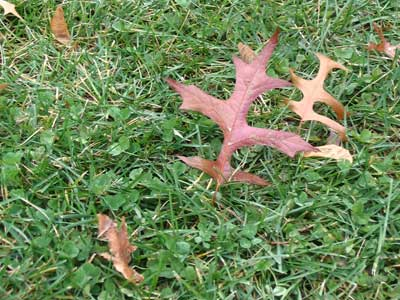 oak leaves standing upright in grass