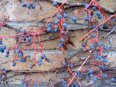wild grapes clinging to brick wall